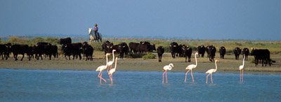 taureau-flamants-pano.jpg